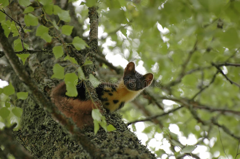 Martre de pin européen images libres de droits