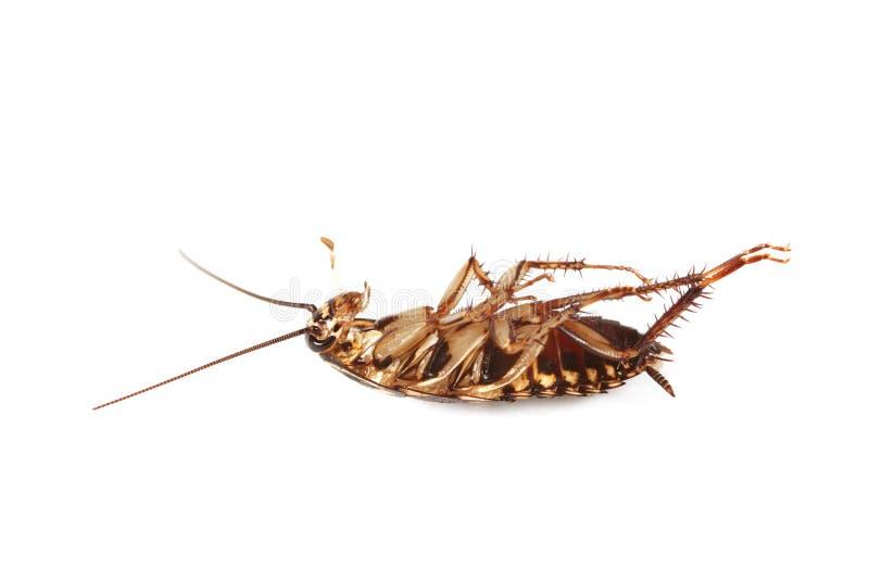 Martwi karaluchy wyizolowani na biaÅ'ym tle zdjęcie stock