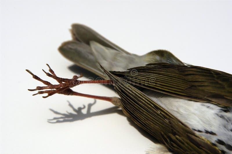 Download Martwy Ptak Szczegółów Ogon Zdjęcie Stock - Obraz złożonej z śmiertelność, biały: 131548