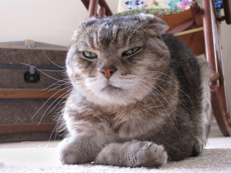 Marudny kot z łapami Składać i Rażącym wyrażeniem obraz stock