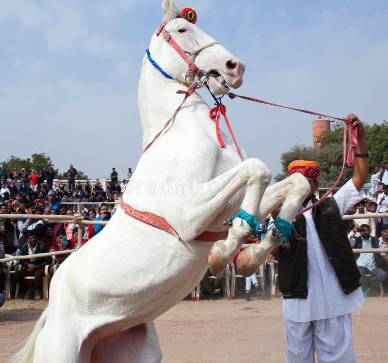 Marvari-Schimmel tänzelt während der Kamelmesse in Rajasthan-Staat, Indien stockfotografie