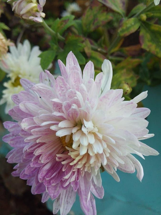 Marvellous kwiat z duszą kwitnie colour obrazy stock