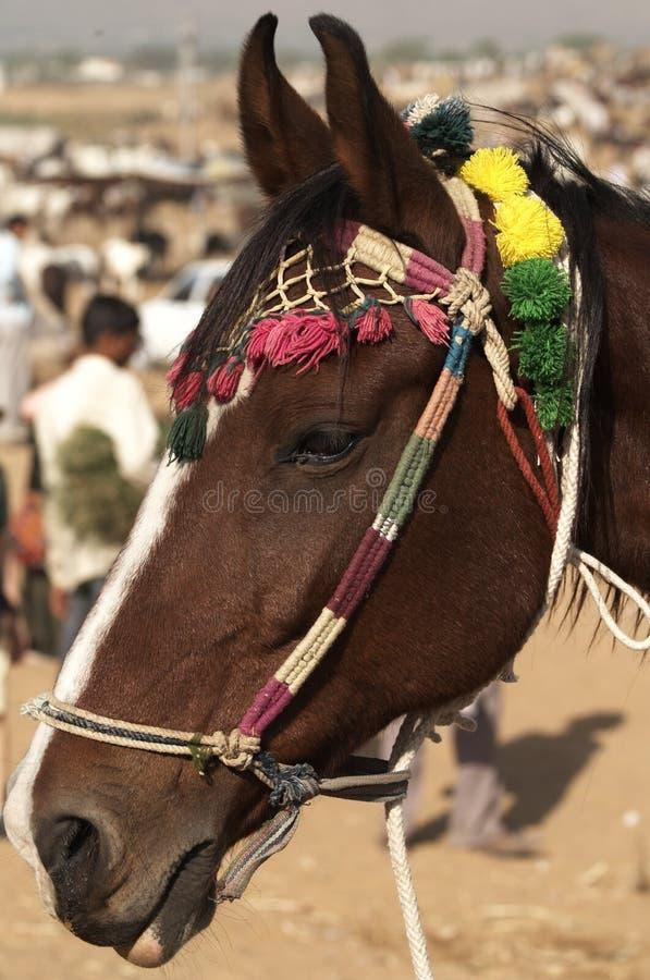 marwari αλόγων στοκ φωτογραφίες