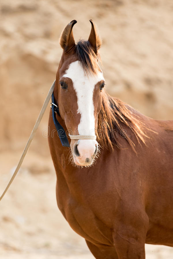 Marwari horse stock photos