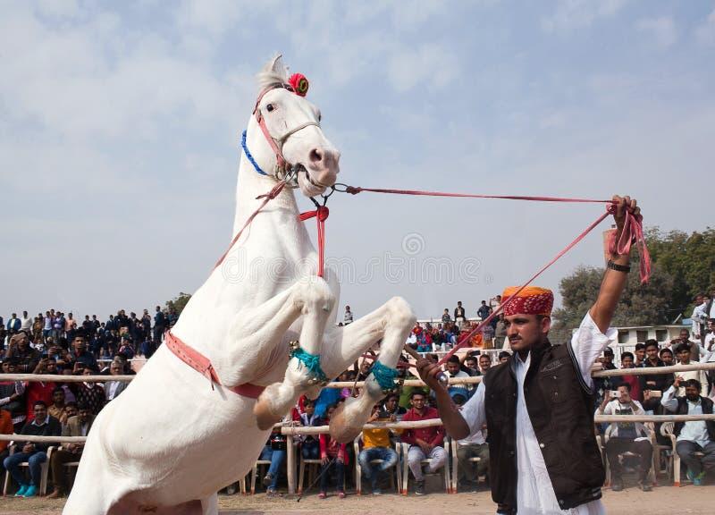 Marwari Horse Stock Photo Image Of Black Stallion