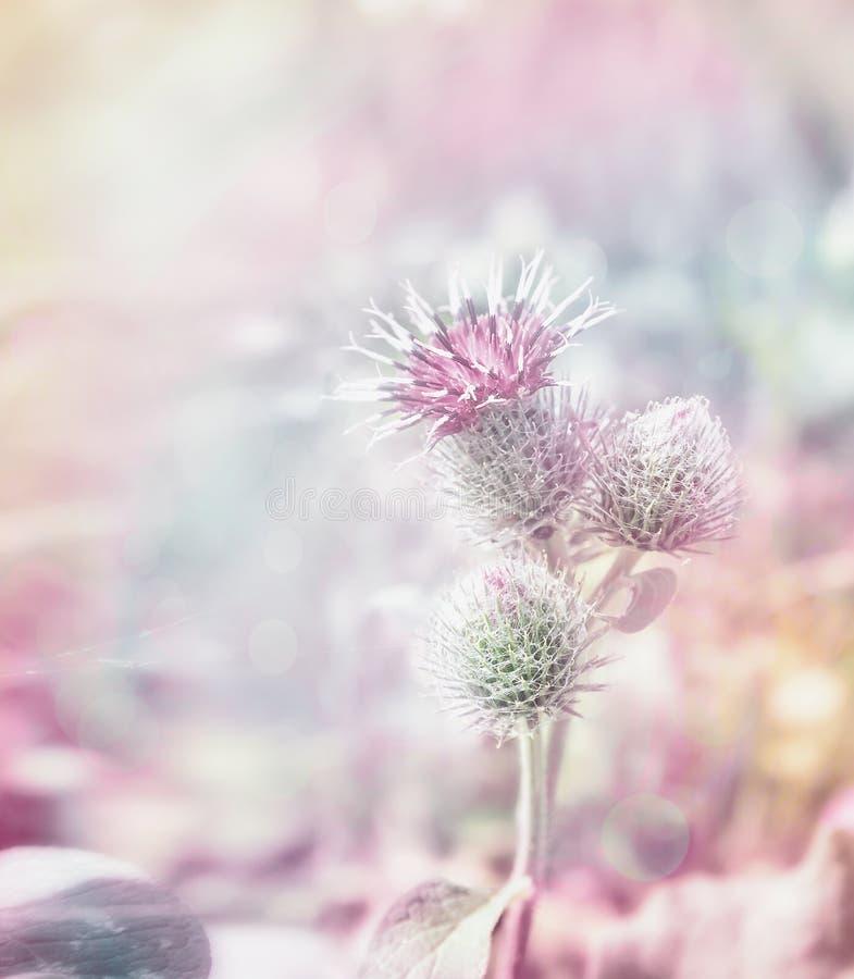 Mary-Distel blüht auf getontem unscharfem Pastellhintergrund lizenzfreie stockbilder