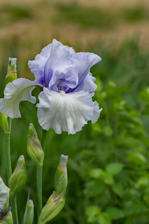 Mary Frances Iris en skäggig iris fotografering för bildbyråer
