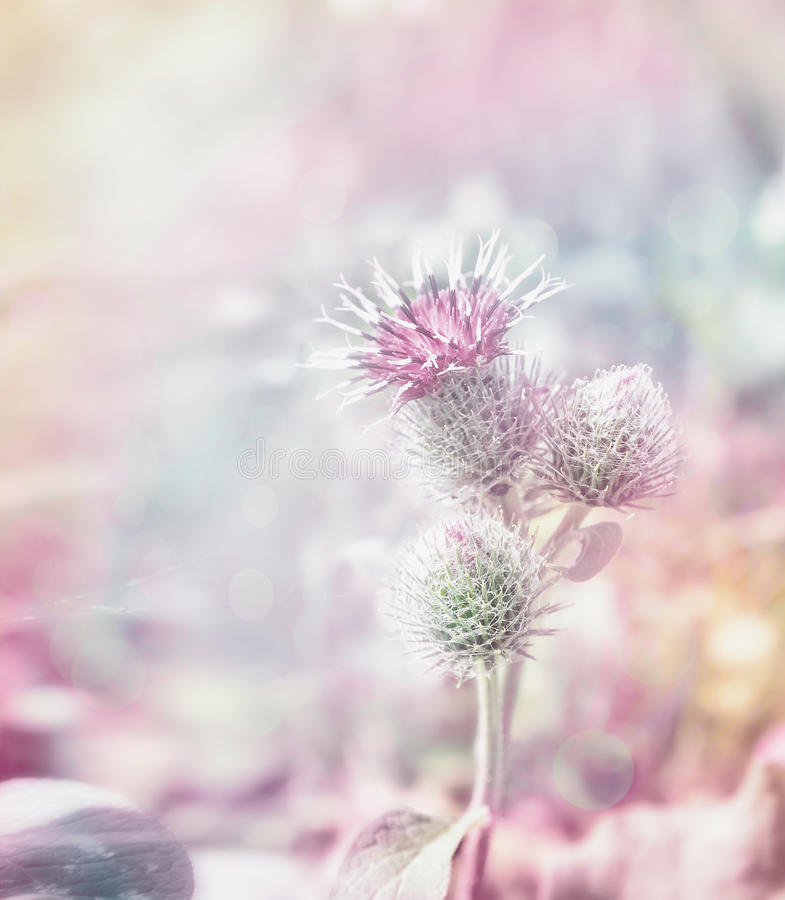 Mary thistle flowers on pastel toned blurred background royalty free stock images