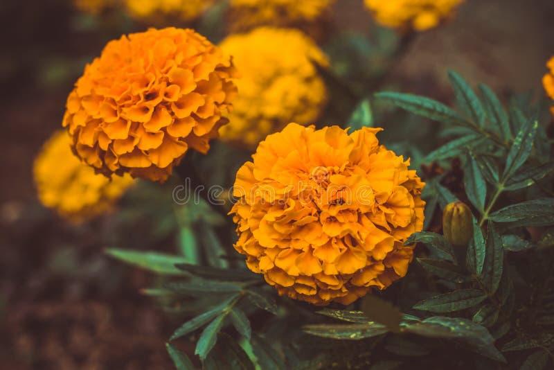 marygold花在庭院里 库存照片