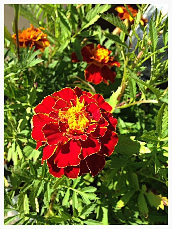 MaryGold w kwiacie zdjęcie royalty free
