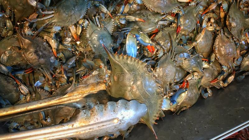 Maryland Blue Crabs. Fresh Maryland blue crabs for sale at the seafood market royalty free stock image