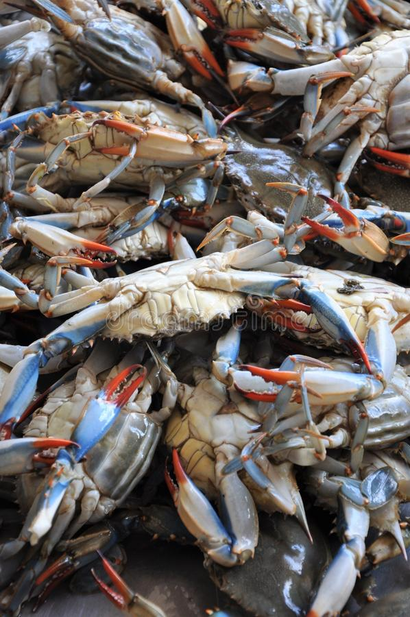 Maryland Blue Crabs. Just off the Boat stock image