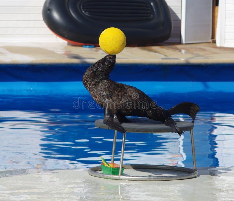 Marynarki wojennej foki whith piłka fotografia stock