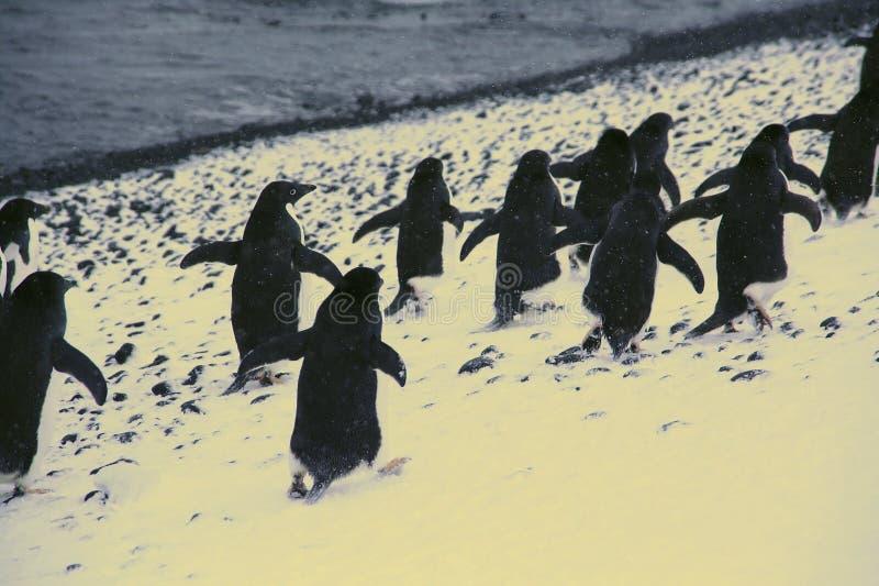 Download Marzo dei pinguini fotografia stock. Immagine di uccello - 7309142