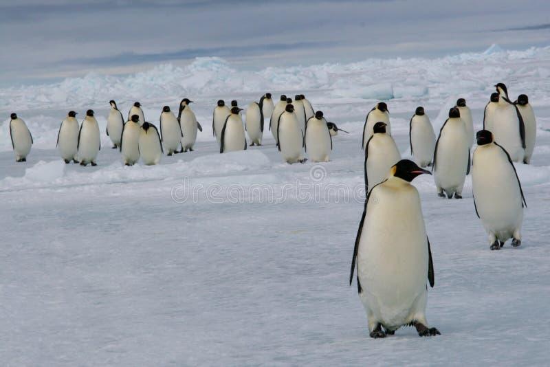 Marzo dei pinguini dell'imperatore immagine stock libera da diritti