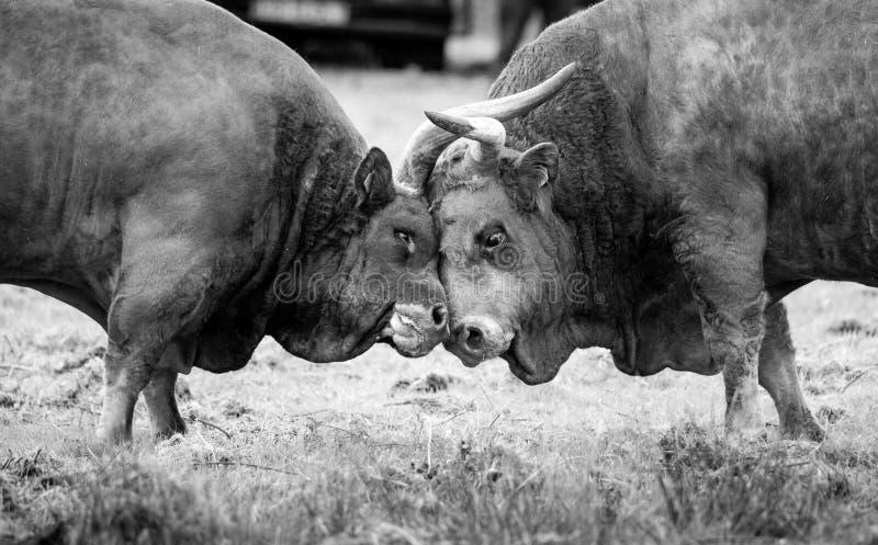 17 marzo 2019 - i tori combattono durante la celebrazione del giorno di padri São José in voa de Lanhoso, Portogallo del ³ di P immagini stock libere da diritti