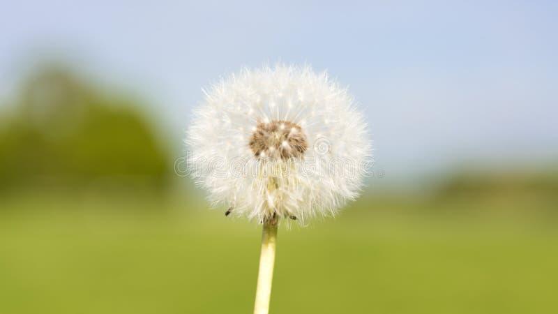 Marzycielski dandelion na mgławym lata tle obraz royalty free