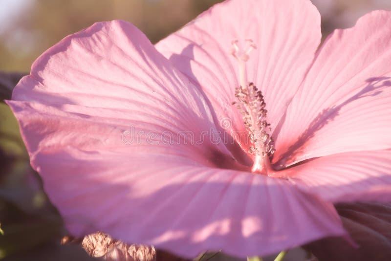 Marzycielski Różowy Zimnotrwały poślubnik zdjęcia royalty free