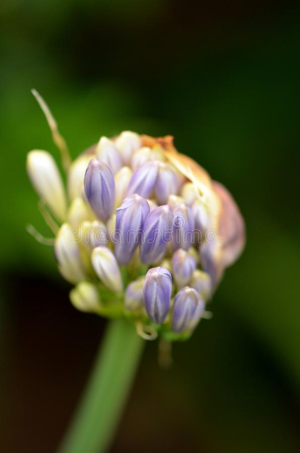 Marzycielskie zamknięcie pąków kwiatowych Agapanthus fotografia stock