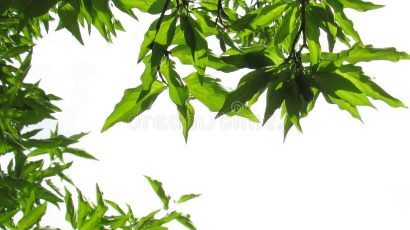 Mas de Cherry Cornus da cornalina Filiais com folhas verdes foto de stock
