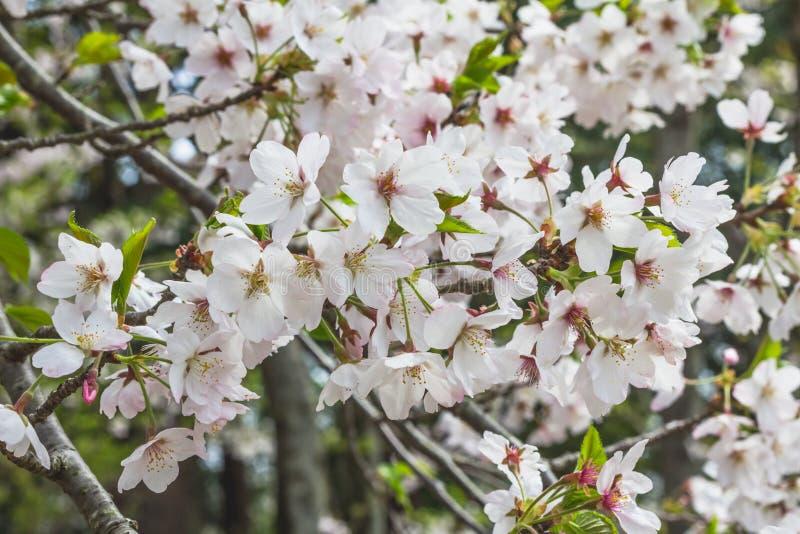 Masa de las flores de cerezo blancas en árbol en Japón fotografía de archivo libre de regalías