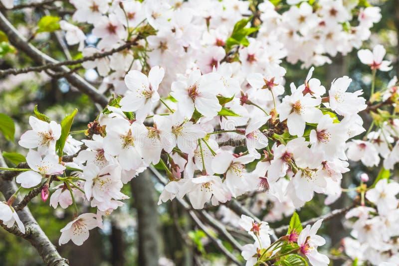 Masa de las flores de cerezo blancas en árbol en Japón fotos de archivo libres de regalías
