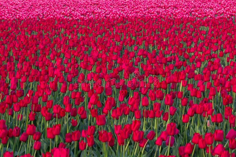Masa de los tulipanes rojos que crecen en un campo foto de archivo