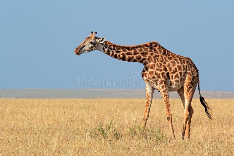 Masai żyrafa obrazy royalty free