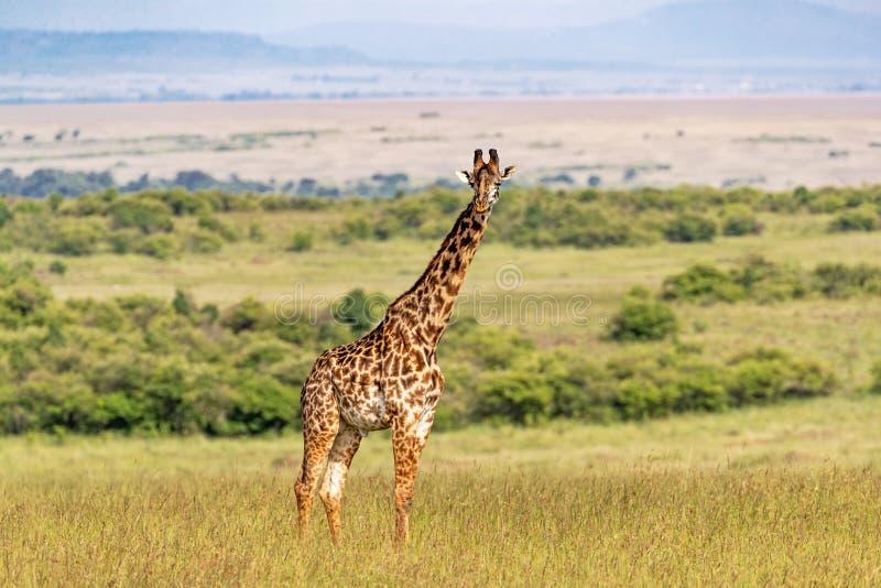 Masai żyrafa Stoi Samotnie w Kenja Afryka fotografia royalty free