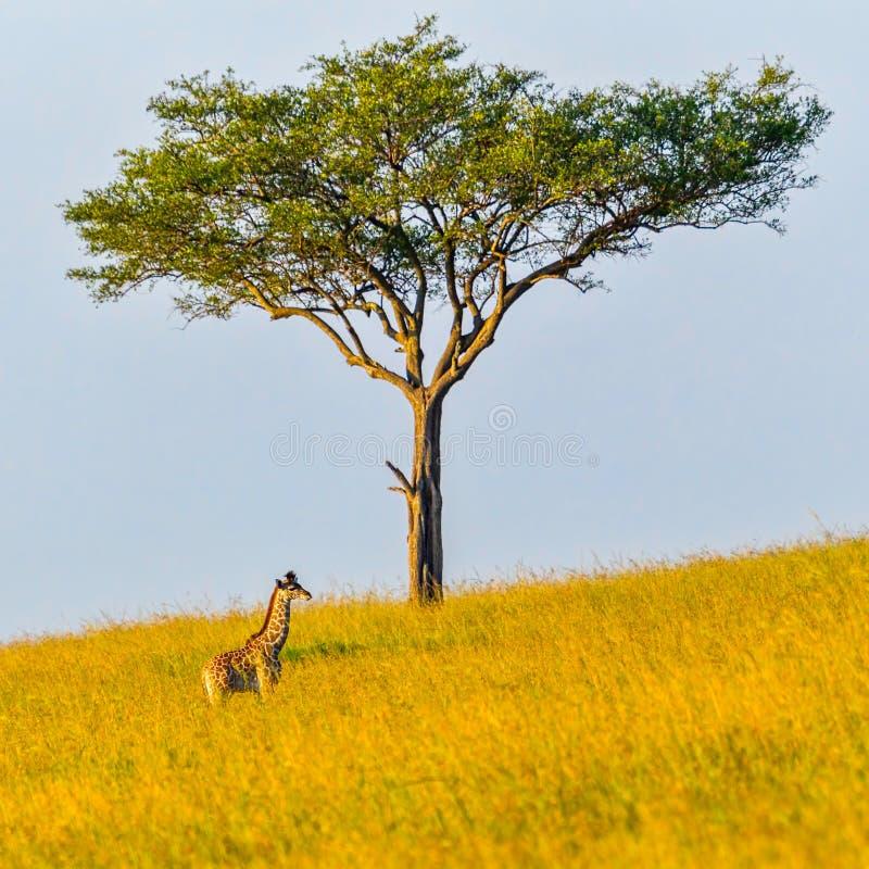 Masai żyrafy łydka Przyćmiewająca obraz royalty free