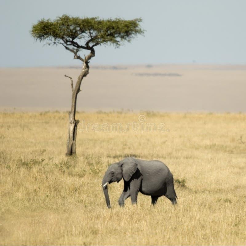 masai Кении mara африканского слона стоковое фото