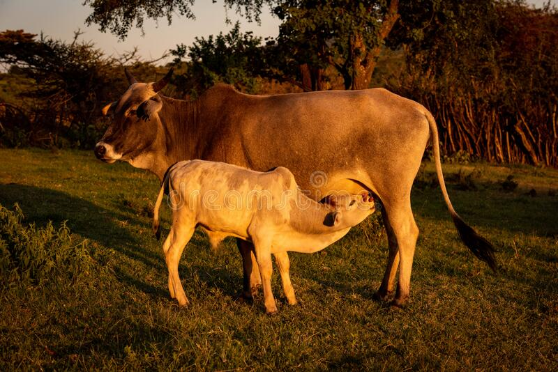 Masai cow suckling calf in late afternoon stock image