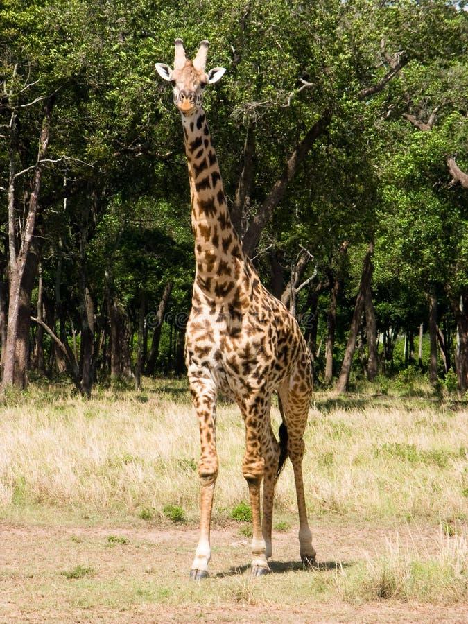 Download Masai giraffe stock image. Image of reserve, bush, scenic - 11506629