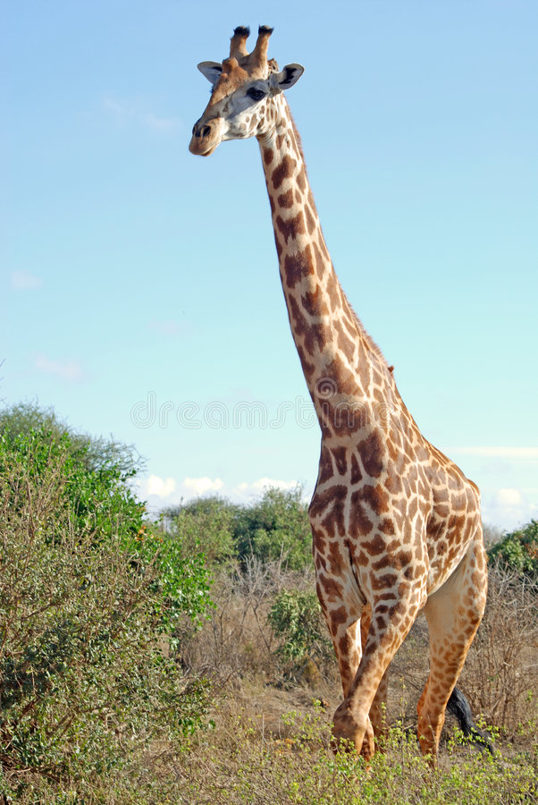 Download Masai giraffe stock photo. Image of high, looking, height - 9276164