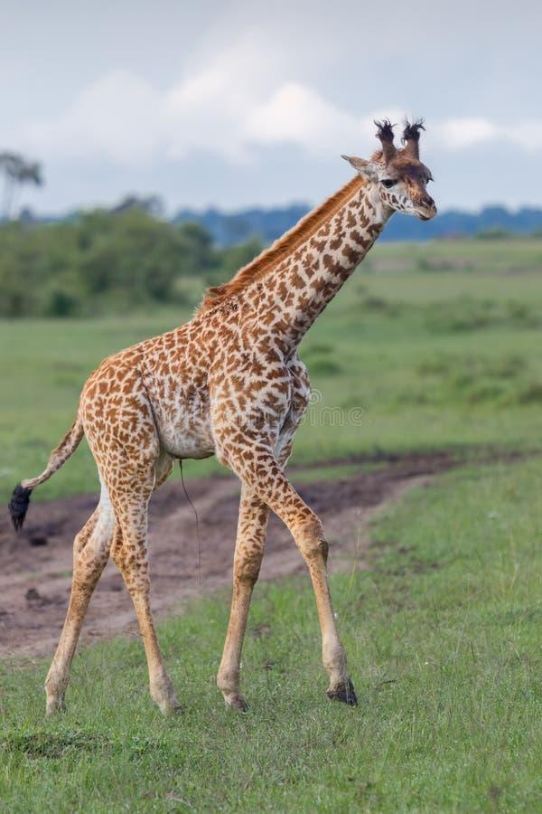 Masai Giraffe Calf Walking royalty free stock photo