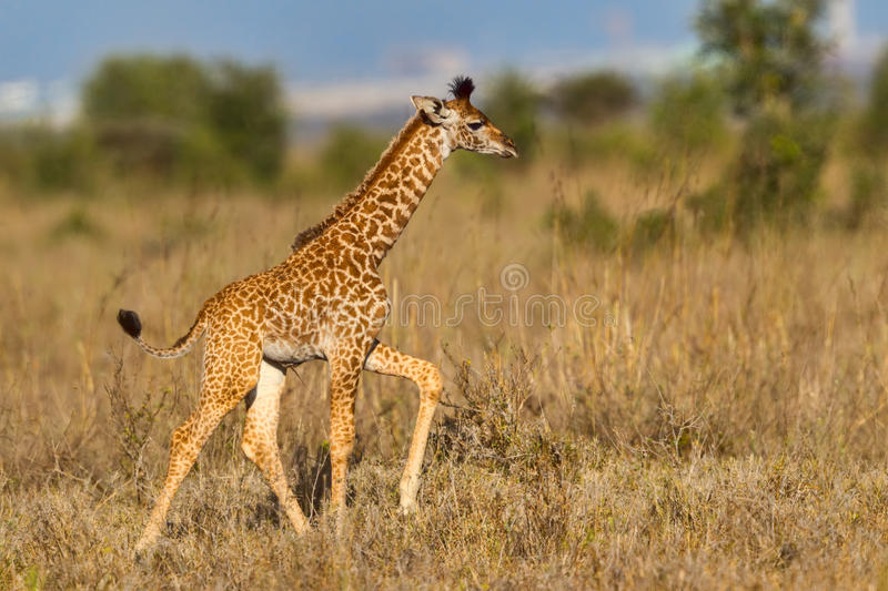 Masai Giraffe Calf Walking. A young Masai Giraffe walking across the savanna of Nairobi National Park, Kenya. The Nairobi skyline is in the background. The baby` stock image