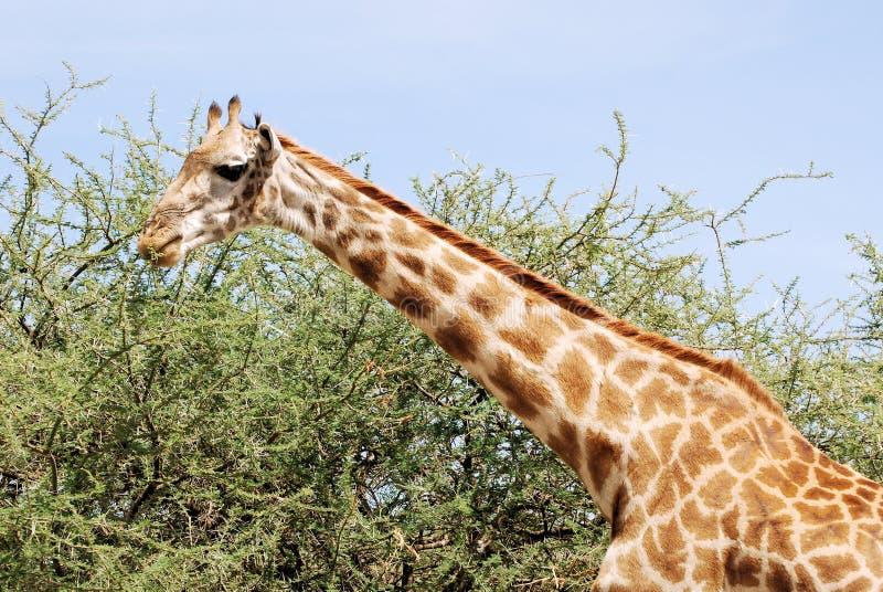 Masai Giraffe eating of an acacia tree. Masai Giraffe eating the leaves of an green acacia tree-Africa-Tanzania-Serengeti National Park royalty free stock photo