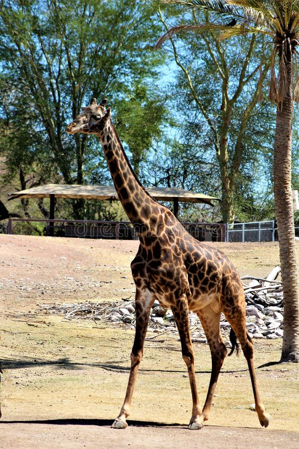 Phoenix Zoo, Arizona Center for Nature Conservation, Phoenix, Arizona, United States. Masai Giraffe at the Phoenix Zoo, Center for Nature Conservation, located royalty free stock photos
