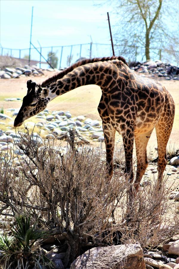 Phoenix Zoo, Arizona Center for Nature Conservation, Phoenix, Arizona, United States. Masai Giraffe at the Phoenix Zoo, Center for Nature Conservation, located stock image