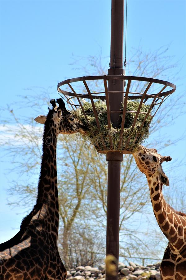 Phoenix Zoo, Arizona Center for Nature Conservation, Phoenix, Arizona, United States. Masai Giraffe at the Phoenix Zoo, Center for Nature Conservation, located stock photo