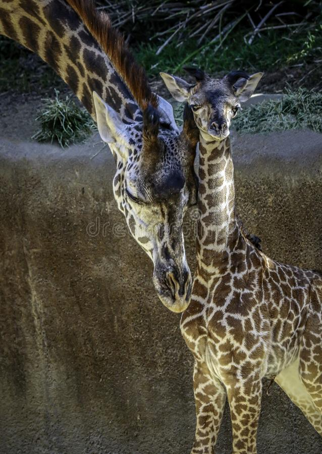 Masai Giraffe Portrait stock photos