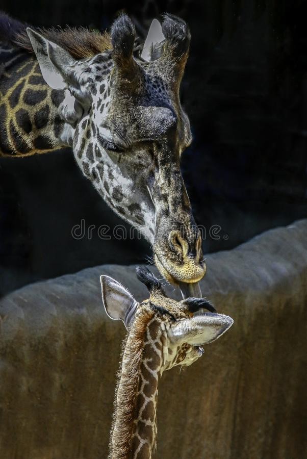 Masai Giraffe Portrait stock photo
