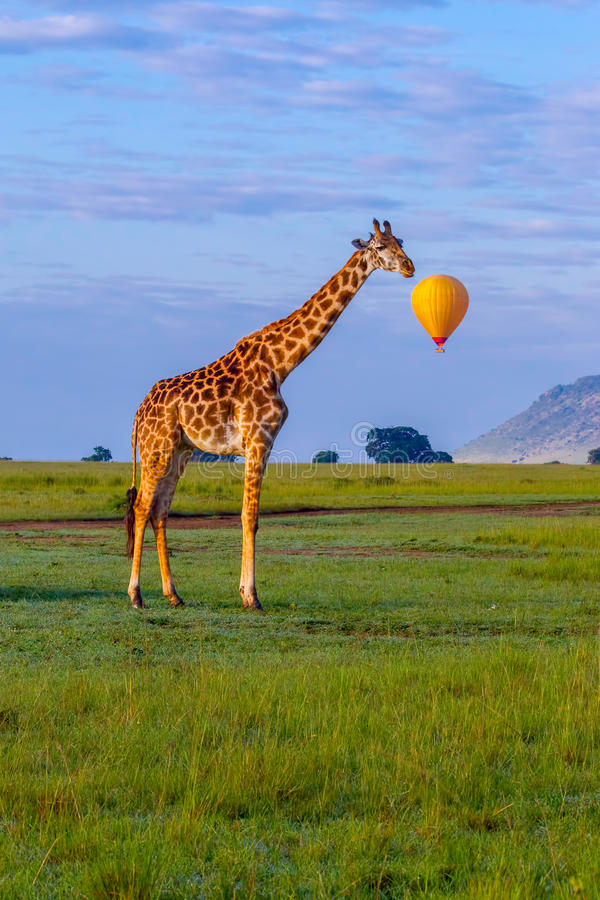 Masai Giraffe With Speech Bubble stock photography