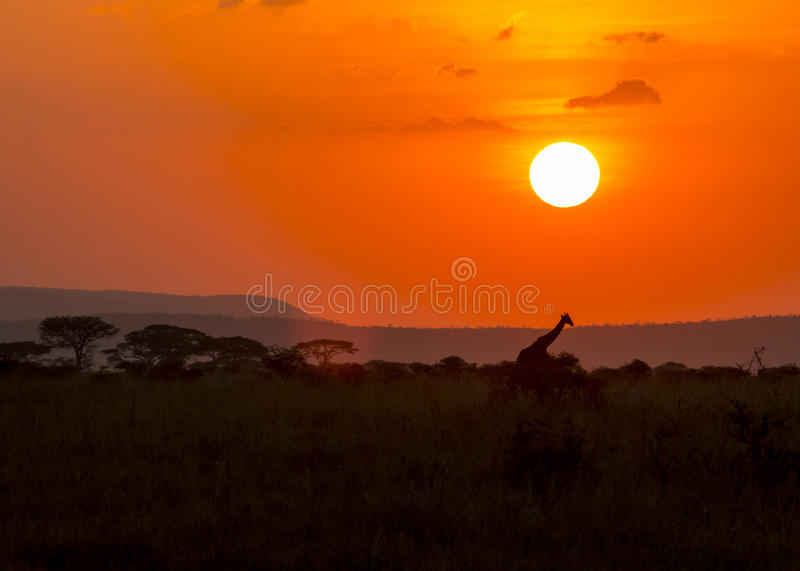 Masai giraffe in sunset royalty free stock images