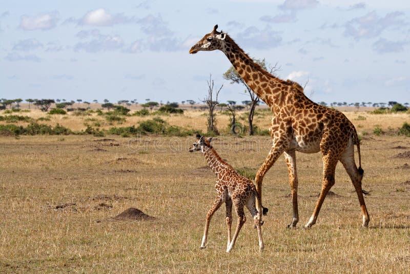 Masai giraffe with young, Masai Mara, Kenya stock photography