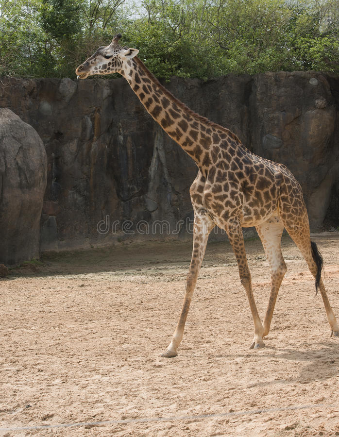 Masai Giraffe in zoo. Adult Masai giraffe standing in sun in Houston, Texas zoo royalty free stock photo