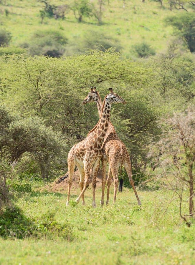 Masai Giraffes paj royaltyfria foton