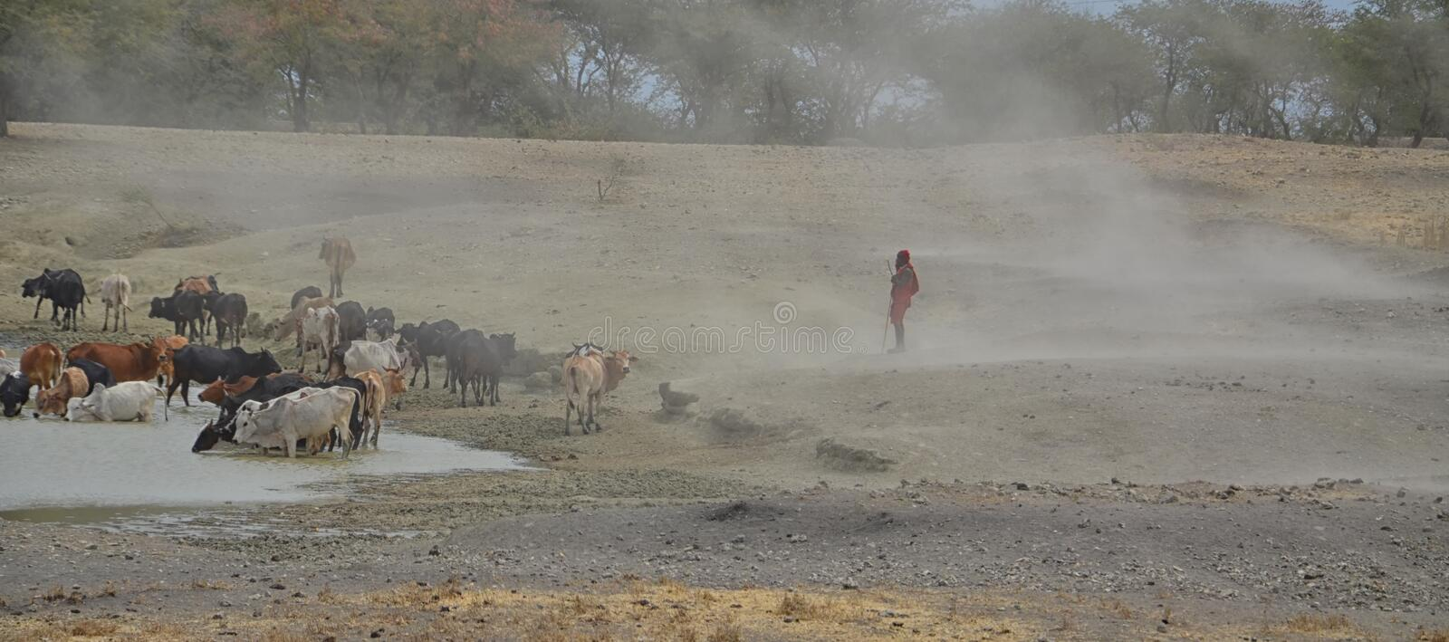 Masai man with cattle. In Tanzania royalty free stock image