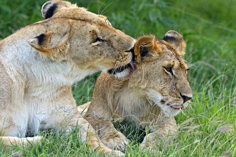 Download Masai Mara львов стоковое изображение. изображение насчитывающей подшипников - 40582727