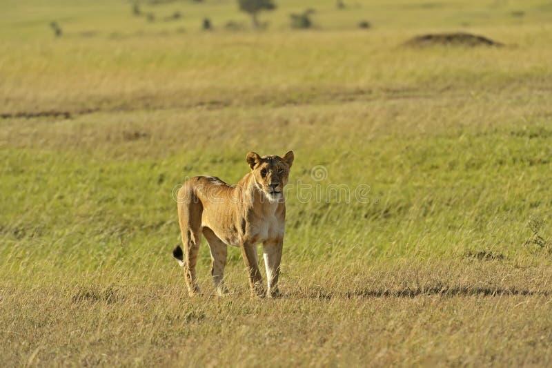 Download Masai Mara львов стоковое фото. изображение насчитывающей фауна - 40582776
